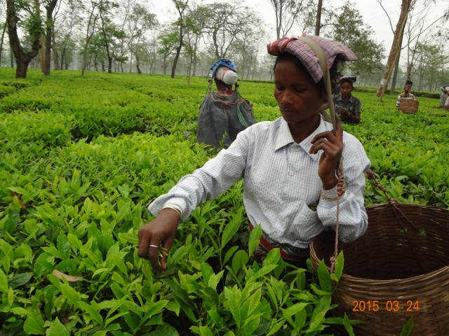 Women picking tea in Assam